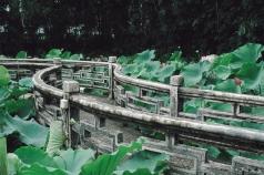 Lotus flowers in Lou Lim Ieoc garden, Macao