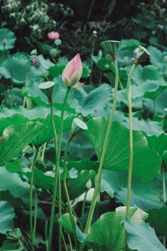 Lotus flowers in Lou Lim Ieoc garden, Macao