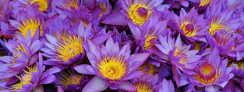 Le Lotus Bleu La Fleur Nationale Du Sri Lanka Scent Corner The Blog