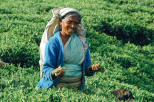 Meet the tea pickers of Sri Lanka