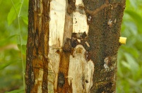 In search of the mysterious agarwood