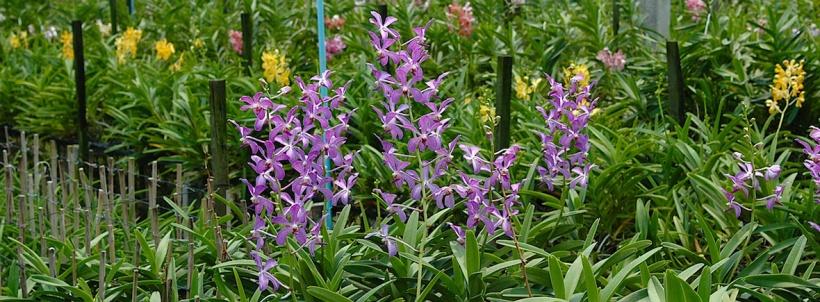 scent-corner-thailand-orchid-farm-0