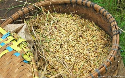 Panier de riz recolte
