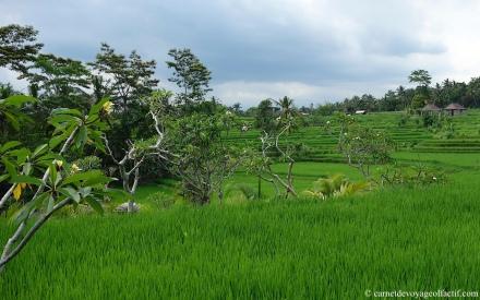 Les frangipaniers se perdent au coeur des rizieres en terrasses, Bali