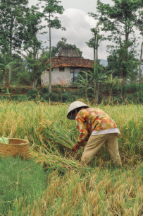 scent-corner-indonesia-rice-fields-2