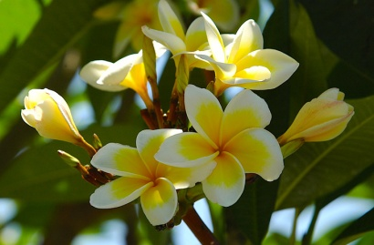 The frangipani, flower of temples