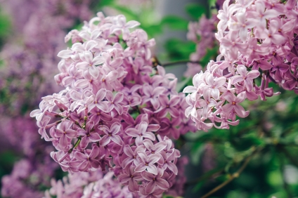 The lilac season