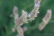 scent-corner-provence-lavender-3