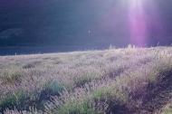scent-corner-provence-lavender-1