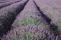 scent-corner-provence-lavender-7