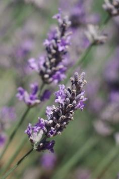 scent-corner-provence-lavender-6